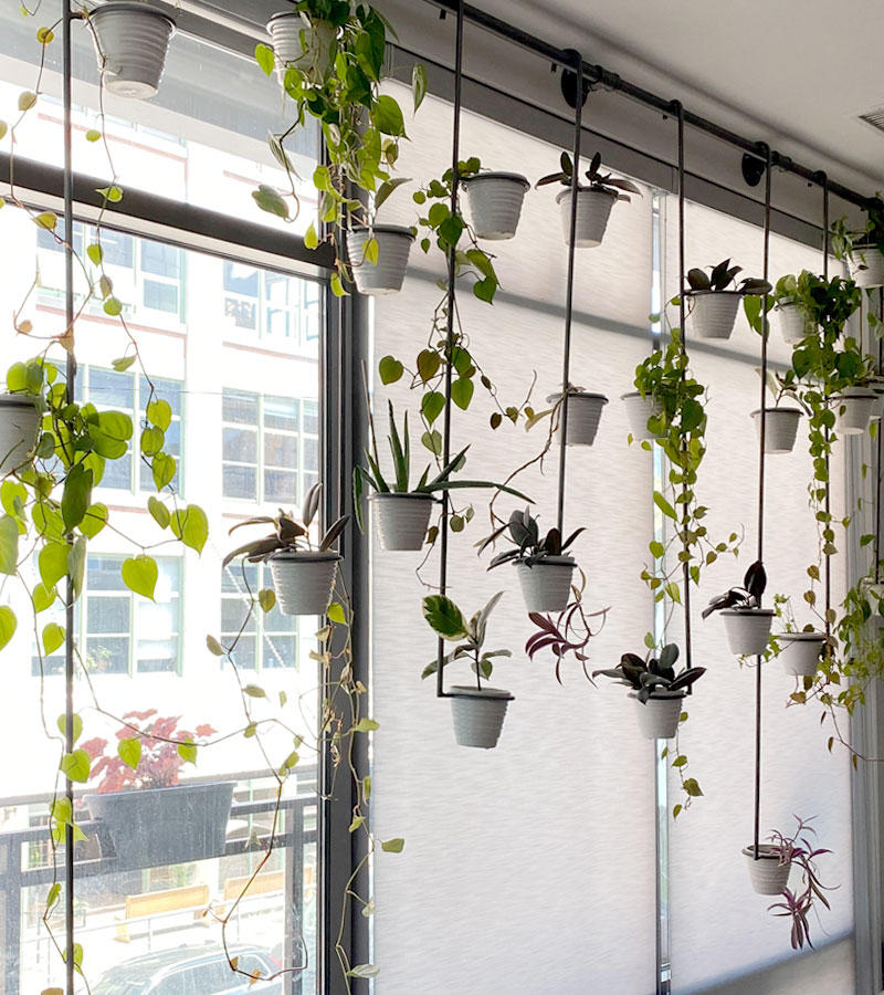 plants hanging from curtain rod with windows covered with screen roller shades in Chicago IL